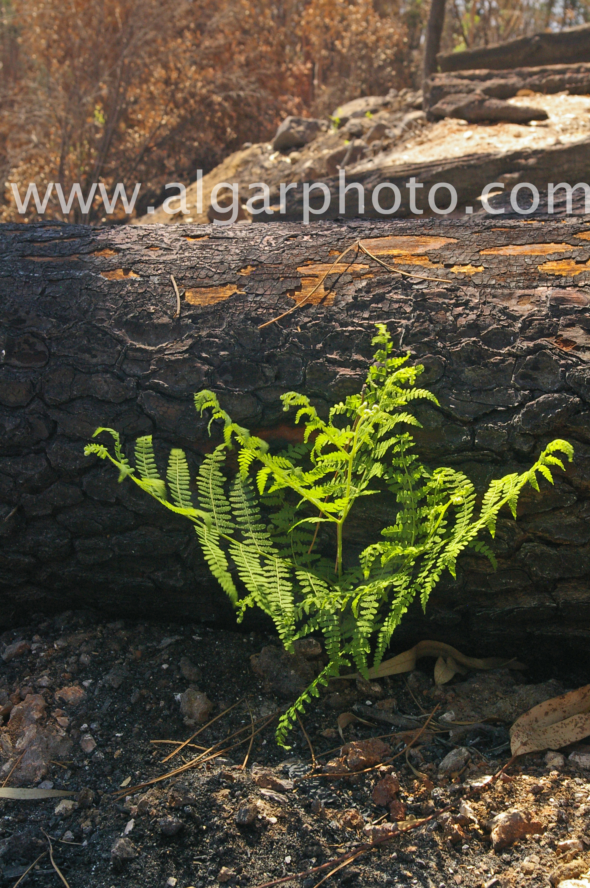 a new fern springs from the ashes of wildfires near Foia, Monchique, Algarve, Portugal